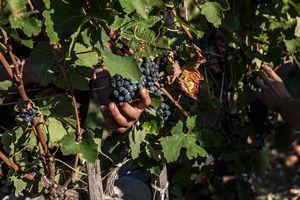 2015年葡萄採收